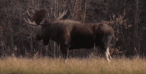Ralph & Vickie's Wild Game Recipe – Moose Burgers