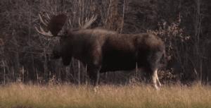 Ralph & Vickie's Wild Game Recipe – Moose Burgers